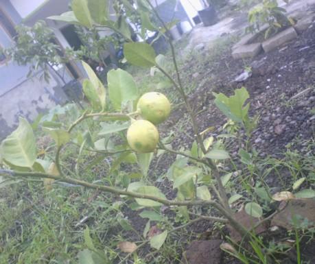 Buanh lemon segar di kebun sendiri